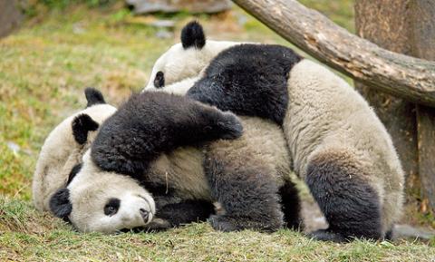 panda-gigante.jpg